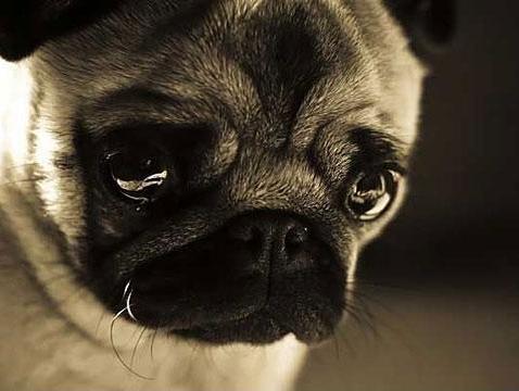 crying-pug