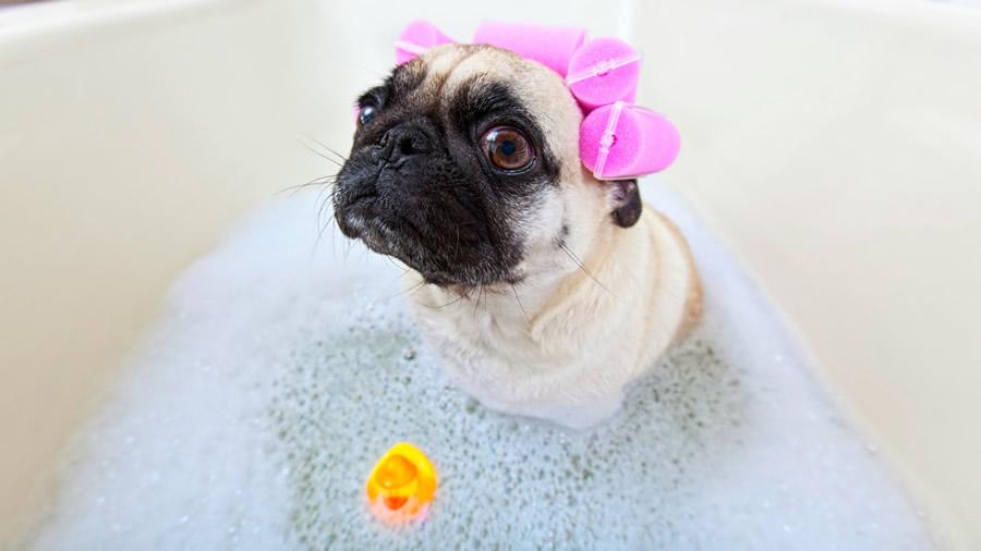 pug_bath