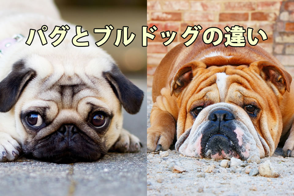 どっち?パグとブルドッグの違い(特徴・性格・値段を比較